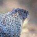 Yellow-bellied marmot (Marmota flaviventris).- Mirabeau Park Swimming Hole