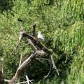 A redwing blackbird and a seagull share a branch.- Jericho Park