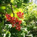 Berries along the trail down.- Wreck Beach