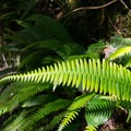 Sword fern.- North Beach Trail