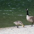 A family of Canada geese at Beaver Bay Beach.- Beaver Bay Beach