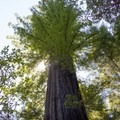 The Miles Standish Tree is thought to be over 1,200 years old.- Big Tree Trail