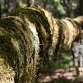 Big Tree Trail.- Big Tree Trail