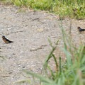 Barn swallows collect material for nesting.- Lottie Bay