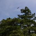 Bald eagle.- Kukutali Preserve (Kiket Island)
