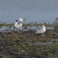 Caspian terns, seagulls, and crows are among the birds to be spotted.- Windjammer Park