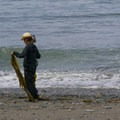Collecting seaweed.- Libbey Beach