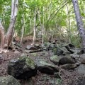 Boulders break up the uniformity of the experimental forest.- Waihou Spring Trail