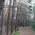 Uniformly placed trees create a unique feel in this forest.- Waihou Spring Trail