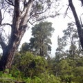 Eucalyptus trees grow remarkably well on Hawaiian soil.- Hosmer Grove