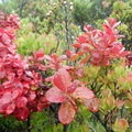 Reddish leaves contrast with the thick green vegetation.- Hosmer Grove