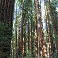 Old-growth redwoods in Richardson Grove State Park.- Huckleberry Campground
