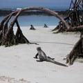 Marine iguanas (Amblyrhynchus cristatus) heading out to sea at Tortuga Bay.- Tortuga Bay