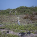 Great blue heron in Tortuga Bay.- Tortuga Bay