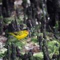 Yellow warbler at Tortuga Bay.- Tortuga Bay