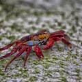 Grapsus grapsus crab at Tortuga Bay.- Tortuga Bay