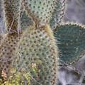 Cacti along the Tortuga Bay Trail.- Tortuga Bay