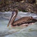Galápagos brown pelican (Pelecanus occidentalis urinator) floating at Tortuga Bay.- Tortuga Bay