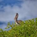 Galápagos brown pelican (Pelecanus occidentalis urinator) at Tortuga Bay.- Tortuga Bay