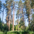Towering ponderosa pine trees at Lewis and Clark Trail State Park Campground.- Lewis and Clark Trail State Park Campground