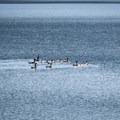 A family of Canada Geese on Dorena Reservoir.- Baker Bay Park, Dorena Reservoir
