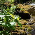 Leaves of three, let it be. Poison oak along the banks of the North Fork Middle Fork Willamette River.- North Fork Middle Fork Willamette Swimming Hole 1.4