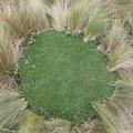 Sponge-like vegetation at Mojanda Lake.- Lagunas de Mojanda