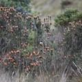 Wildflowers and a rare hummingbird at Mojanda Lake.- Lagunas de Mojanda