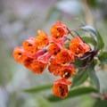 Wildflowers at Mojanda Lake.- Lagunas de Mojanda