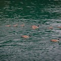 A family of Canada geese swim out of Smallpox Bay.- San Juan County Day Park + Campground