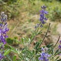Lupine proliferates in spring and early summer at Tubbs Hill.- Tubbs Hill Hiking Trails