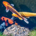 Some of the magnificent koi in the pools.- Japanese Tea Garden