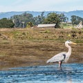 Great blue heron.- Elkhorn Slough