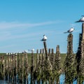 Birds lined up on an old structure.- Elkhorn Slough