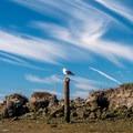 Lone seagull.- Elkhorn Slough