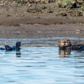 The otters were mildly curious.- Elkhorn Slough