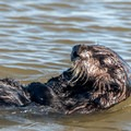 The otters were unconcerned about the kayaks.- Elkhorn Slough
