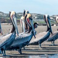 Brown pelicans in formation.- Elkhorn Slough