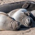 "Elephant seals born this spring, called ""weaners.""- Elephant Seals of Año Nuevo"