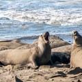 Young males facing off.- Elephant Seals of Año Nuevo