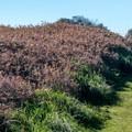 Massive poison oak bushes line the trail.- Atkinson Bluff Trail