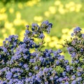 Ceonothus in bloom in February.- Sunset State Beach Campground