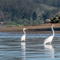 Egrets on the slough.- Morro Bay State Reserve