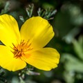 California poppy.- Sand Spit Day Use Area