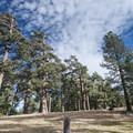Giant ponderosa pines (Pinus ponderosa) at Table Mountain Campground.- Table Mountain Campground