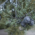 California Juniper (Juniperus californica) at South Fork Campground.- South Fork Campground, Big Rock Creek
