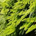 Five-finger fern (Adiantum aleuticum) covers the slot canyon walls.- Fern Canyon