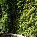 Fern Canyon.- Fern Canyon