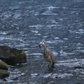 A great blue heron catches a trout below the falls.- McArthur-Burney Falls Memorial State Park