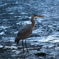 Great blue heron looking for food in December.- McArthur-Burney Falls Memorial State Park
